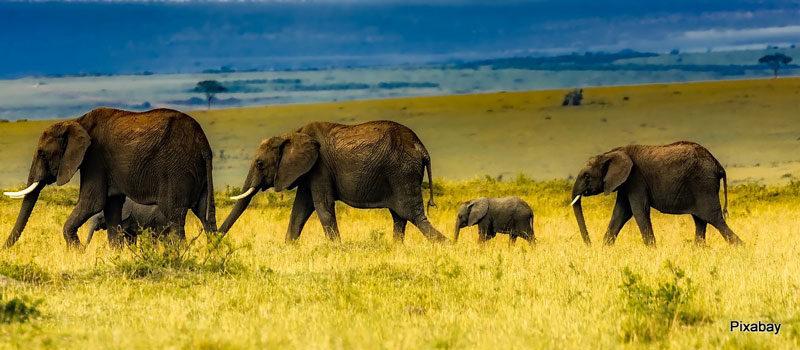Hungrige-Elefanten-7-Pixabay